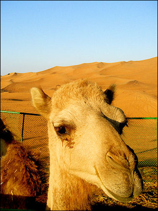 United Arab Emirates, Dubai - Camel in the desert