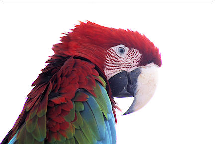 Leeward Islands, Sint Eustatius - Parrot