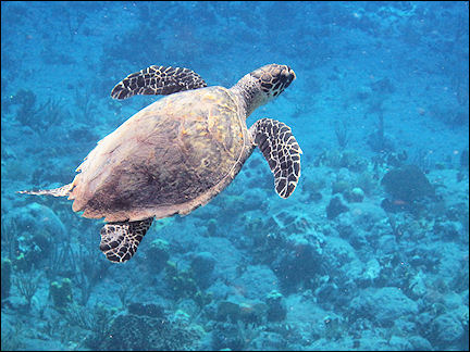 Leeward Islands, Saba - Hawksbill sea turtle