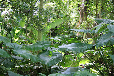 Leeward Islands, Saba - Elephant's ears, Mount Scenery