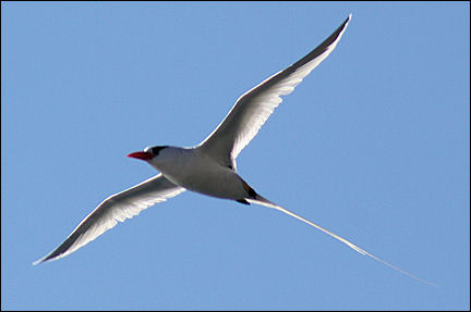 Leeward Islands, Saba - Redbilled Tropicbird near the port