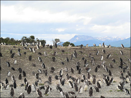 Argentina - Ushuaia, penguin colony in the Beagle Channel