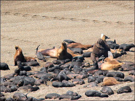 Argentina - Seal nursery on Peninsula Valdez