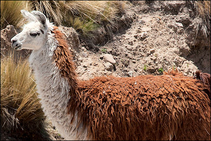 Argentina - Roaming llamas completely ignore us