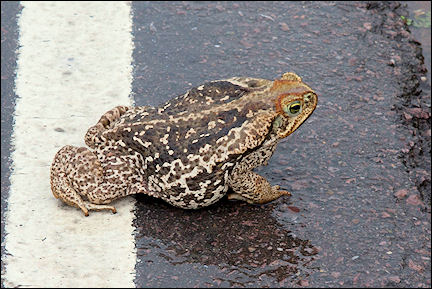 Argentina - Giant toad