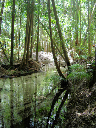 Australia, Fraser Island - Pile Valley rainforest