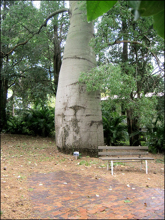 Australia, Queensland - Bottle Tree in Rockhampton