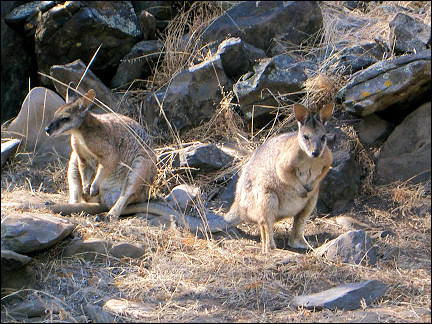 Australia - Wallabies on Kangaroo Island