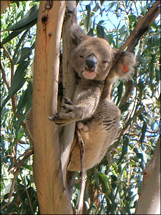 Australia - Koala in eucalyptus tree on Kangaroo Island