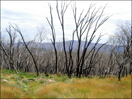 Australia, New South Wales - Charred forest in Mt Kosciusko National Park