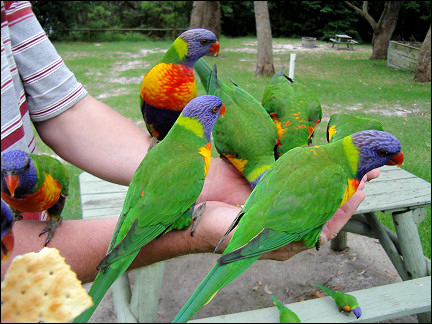 Australia, East Coast - Rainbow lorikeets