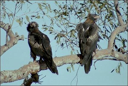 Australia, Northern Territory - Large birds of prey