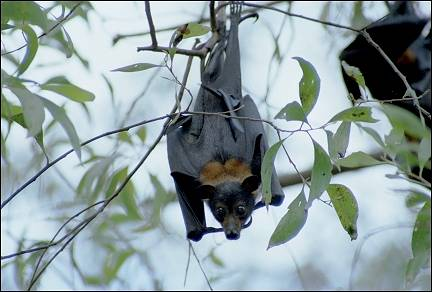 Australia, Northern Territory - Flying fox