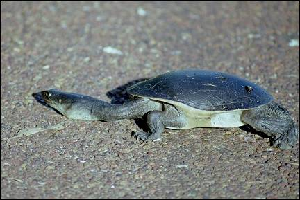 Australia, Northern Territory - Long-necked turtle