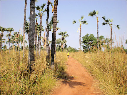 Burkina Faso - Rônier or palmyra palm trees