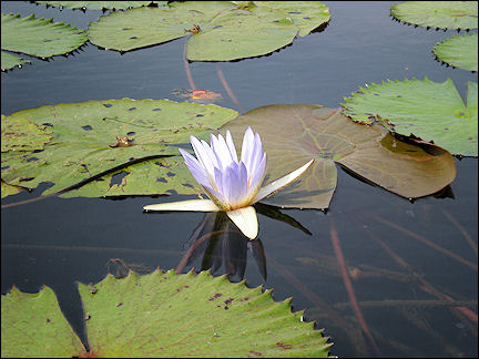 Burkina Faso - Waterlily in Lake Tengrela