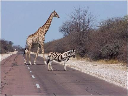 Botswana - Game crossing the road in Etosha NP