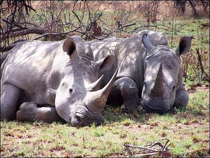 Pilanesberg National Park - Lazy rhinos