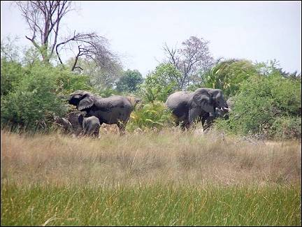 Botswana - Okavanga Delta, walking with elephants