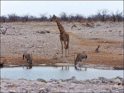 Namibia - Giraffe and kudus in Etosha National Park