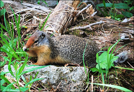 Canada, British Colombia and Alberta - Columbian groundsquirrel in Kokanee Glacier Provincial