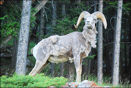 Canada, British Colombia and Alberta - Mouflon in Banff National Park