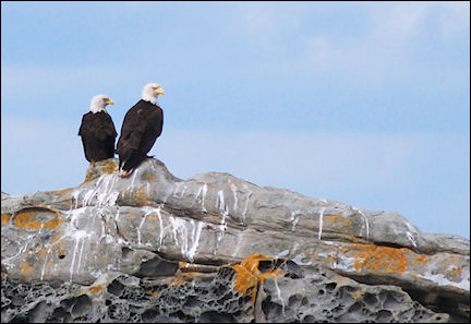 Canada, British Colombia and Alberta - Bald Eagles off the Vancouver coast