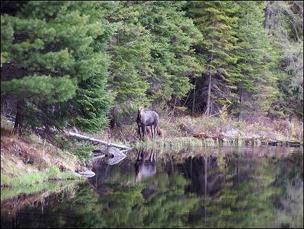 Canada - Algonquin Park, moose near lake