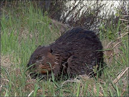 Canada - Algonquin Park, beaver on the waterfront