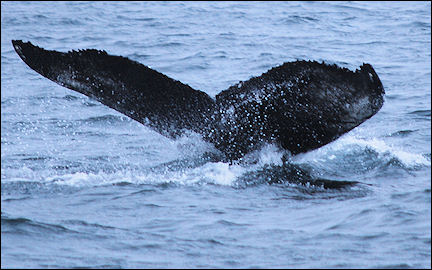Canada, Nova Scotia - Humpback Whale near Brier Island