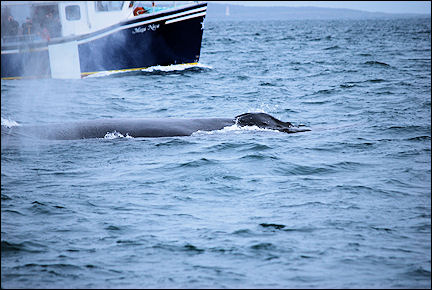 Canada, Nova Scotia - Humpback whale in the Bay of Fundy