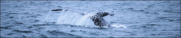 Canada, Nova Scotia - humpback in the Bay of Fundy