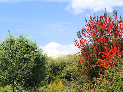 Chile - Snowy Andes peak behind blooming trees and shrubs