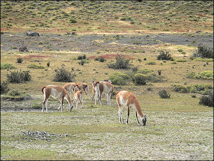 Chile - Guanacos in Torres del Paine