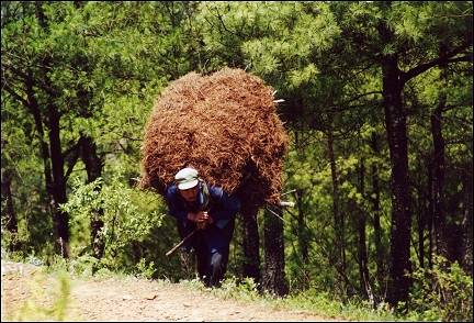 China, Yunnan - Huize, man carries huge pile of pine-needles up the mountain