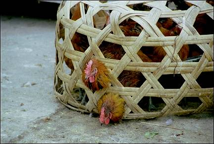 China, Yunnan - Dali, chickens in a basket at the market
