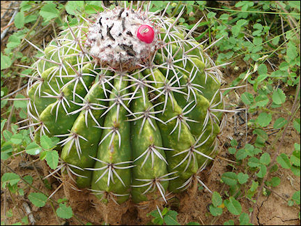 Colombia, Tatacoa - Cactus with red fruit