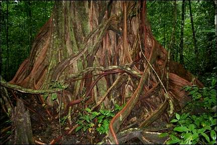 Costa Rica - Corcovado, roots of a tree