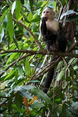 Costa Rica - Monkey in tree