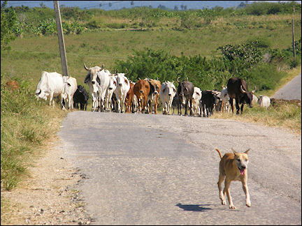 Cuba - Cows on the road