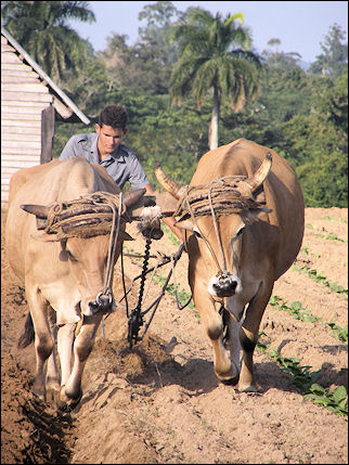 Cuba - The land is worked with oxen