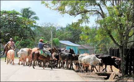 Dominican Republic - Cow herd with cowboys