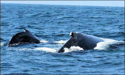 Dominican Republic - Humpback whale with calf