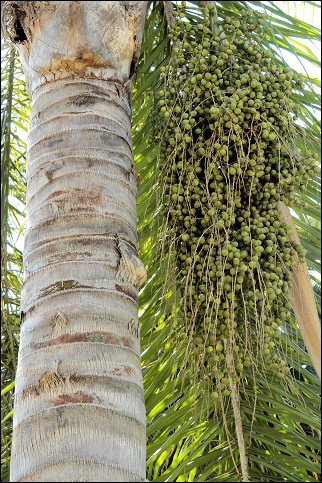 Spain, Valencia - Date palm in Jardines del Real