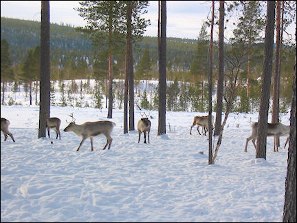 Finland, Lapland - Reindeer, during snowmobile ride