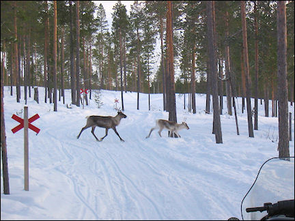 Finland, Lapland - Reindeer cross the road during a snowmobile ride