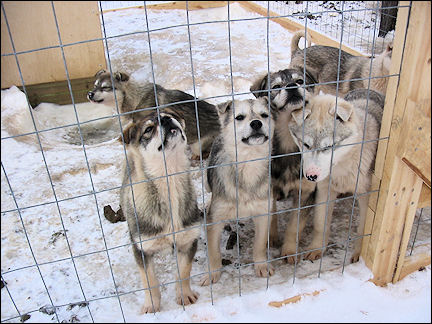Finland, Lapland - Puppies at the husky farm