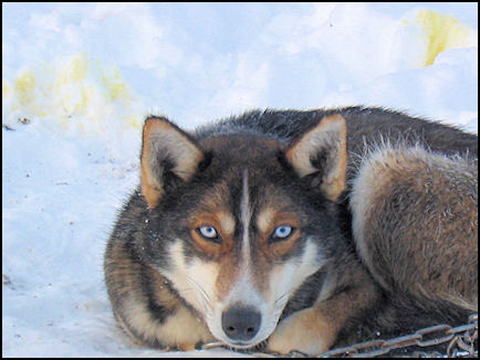 Finland, Lapland - Sometimes the dogs fight