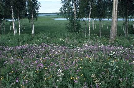 Finland - Birches, flowers and water