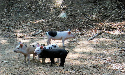 France, Corsica - Piglets on the road